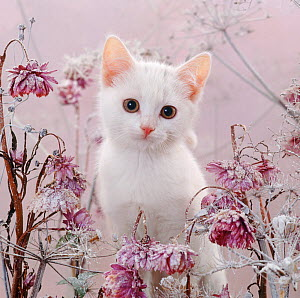 Amber-eyed white kitten, among frosty everlasting daisies and cow parsley deadheads.  -  Jane Burton