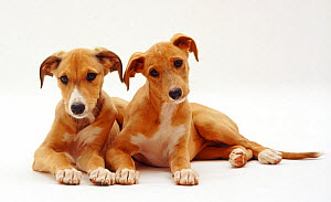 Saluki puppies, 12 weeks,  lying together, against white background - Jane Burton