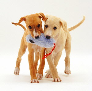 Yellow and Gold Saluki puppies, 12 weeks, playing with a soft toy, against white background - Jane Burton