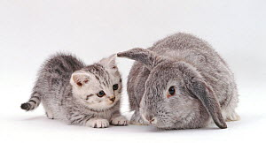 Silver-spotted kitten with silver Lop rabbit, against white background NOT AVAILABLE FOR BOOK USE - Jane Burton
