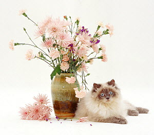 Blue colour-point Birman-cross cat, Scilla, lying by a vase of pink flowers, against white background  -  Jane Burton