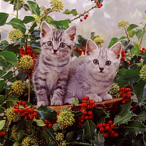 Silver tabby kittens among holly berries and ivy flowers.  -  Jane Burton
