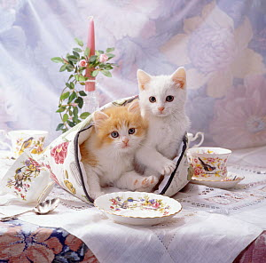 Kittens, one white, one ginger-and-white, on the table in a tea cosy with china tea set.  -  Jane Burton
