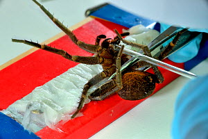 Fishing spider (Ancylometes bogotensis) venom being milked in laboratory. From Central and South America. - Daniel  Heuclin