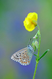 Adonis blue butterfly (Polyommatus bellargus) on stem, Pyrenees National Park, France, June. - Robert  Thompson