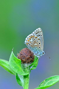 Adonis blue butterfly (Polyommatus bellargus) on seed, Pyrenees National Park, France, June. - Robert  Thompson