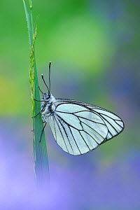 Black veined white butterfly (Aporia crataegi) on grass, Gavarnie-Gedre, Pyrenees National Park, France, June. - Robert  Thompson