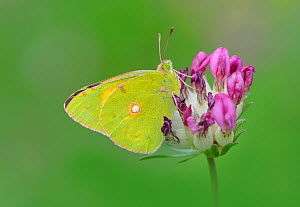 Clouded yellow butterfly (Colias croceus / coocea) on flower, Pyrenees National Park, France, June. - Robert  Thompson