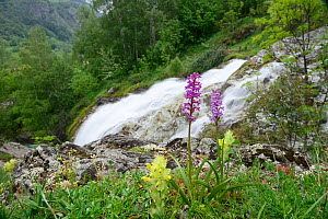 Fragrant orchid (Gymnadenia conopsea) and Yellow rattle (Rhinanthus minor) in flower, Gavarnie, Pyrenees National Park, France, June. - Robert  Thompson