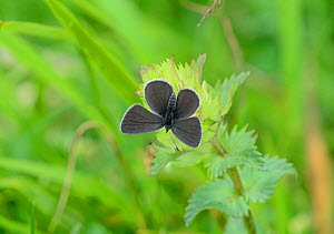 Small blue butterfly (Cupido minimus) on plant, Gavarnie, Pyrenees National Park, Hautes Pyrenees, France, July.  -  Robert  Thompson