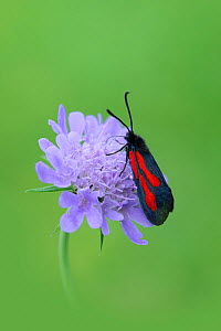 Moth (Zygaena osterodensis) feeding on flower, Viscos, Pyrenees National Park, France, July. - Robert  Thompson