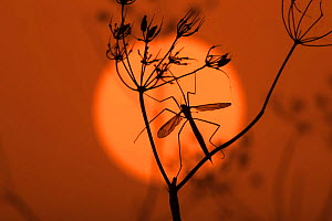 Cranefly (Tipula paludosa) on seed head silhouetted against sun, Norfolk, UK, September. - Ernie  Janes