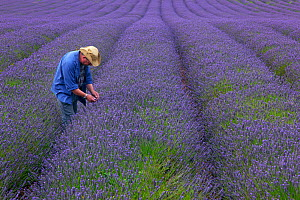 Farmer checking Lavender (Lavandula sp.) crop, West Norfolk, UK, August 2013 (model released). - Ernie  Janes