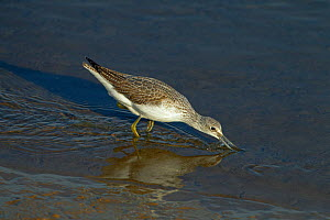 Greenshank (Tringa nebularia) feeding in shallow water, Titchwell Reserve, Norfolk, UK, October. - Ernie  Janes