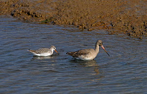 *** Two Spotted redshanks (Tringa erythropus) in shallow water, UK, October. - Ernie  Janes
