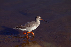 *** Spotted redshank (Tringa erythropus) walking in shallow water, UK, October. - Ernie  Janes