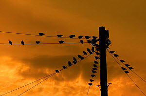 *** Starlings (Sturnus vulgaris) on power lines at sunset, UK, October. - Ernie  Janes