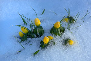 Winter aconite (Eranthis hyemalis) flower buds in snow, UK, February.  -  Ernie  Janes