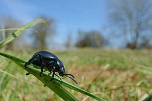 Bloody-nosed beetle (Timarcha tenebricosa) climbing on grass blades in a chalk grassland meadow, Wiltshire, UK, April.  -  Nick Upton