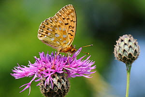 Dark green fritillary butterfly (Argynnis aglaja) feeding on Greater knapweed flower (Centaurea scabiosa) in a chalk grassland meadow, Wiltshire, UK, July.  -  Nick Upton