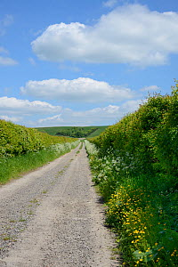 Farm track leading to The Ridgeway with Cow parsley (Anthriscus sylvestris) and Buttercups (Ranunculus acris) flowering on the verges, Berwick Basset, Marlborough Downs, Wiltshire, UK, June. - Nick Upton