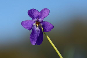 Hairy violet (Viola hirta) flower in chalk grassland meadow, Wiltshire, UK, April. - Nick Upton