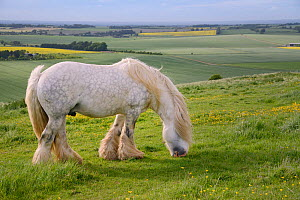 Grey Irish Gypsy cob stallion (Equus caballus) grazing rough pastureland on Hackpen Hill with Oilseed rape (Brassica napus) and other arable crops in the background, The Ridgeway, Winterbourne Bassett...  -  Nick Upton