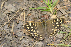 Speckled wood butterfly (Pararge aegeria) well camouflaged sunning on a woodland footpath, Wiltshire, UK, June.  -  Nick Upton