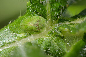 Thistle tortoise beetle (Cassida rubiginosa) well camouflaged on Woolly thistle (Cirsium eriophorum) leaves, Wiltshire, UK, June.  -  Nick Upton