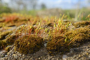 Low angle view of Capillary Thread-moss (Bryum capillare) cushions with ripening spore capsules growing on a roadside boulder, Wiltshire, UK, April. - Nick Upton