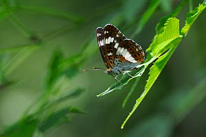 Male White admiral butterfly (Limenitis camilla) standing on sunlit leaves, guarding its territory and looking out for mates, Woodland edge, Wiltshire, UK, July.  -  Nick Upton