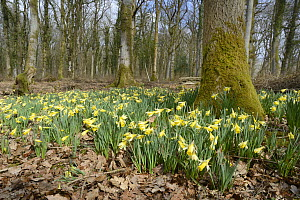Carpet of Wild daffodils / Lent lilies (Narcissus pseudonarcissus) flowering in coppiced woodland, Lower woods, Gloucestershire, UK, March.  -  Nick Upton