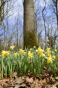Low angle view of a carpet of Wild daffodils / Lent lilies (Narcissus pseudonarcissus) flowering in coppiced woodland, Lower woods, Gloucestershire, UK, March.  -  Nick Upton