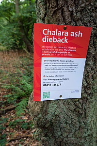 Sign for ash dieback in a woodland, disease is caused by the fungus Chalara fraxinea, Surrey, England, UK, October 2013.  -  Adrian Davies
