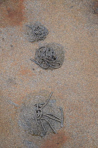 Lugworm (Arenicola marina) casts on a beach, Shetland Islands, Scotland, UK, November.  -  Adrian Davies