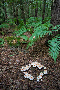 Spotted toughshank (Collybia maculata) growing in a ring, Surrey, England, UK, September.  -  Adrian Davies