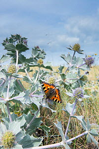 Small Tortoiseshell Butterfly (Aglais urticae) feeding on Sea Holly flowers (Eryngium maritimum) on coastal dunes, North Norfolk, England, August.  -  Gary  K. Smith