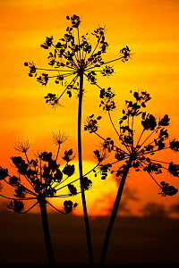 Hedge Parsley  (Torilis japonica) seed head umbels, silhouetted at sunset, Norfolk, England, UK. October.  -  Gary  K. Smith