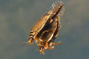 Lesser diving beetles (Acilius sulcatus) mating pair, Europe, May, controlled conditions - Jan  Hamrsky