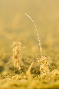 Sludge worm (Tubifex tubifex) hiding in the sediments, Europe, May, controlled conditions  -  Jan  Hamrsky