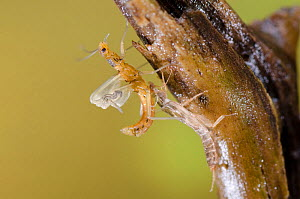 Stonefly (Plecoptera) emerging, Europe, May, controlled conditions  -  Jan  Hamrsky