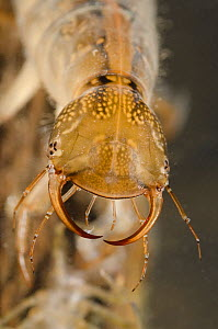 Great diving beetle larva (Dytiscus marginalis) head detail, Europe, June, controlled conditions - Jan  Hamrsky