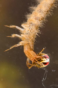 Lesser silver water beetle larva (Hydrochara caraboides) with Backswimmer nymph prey, Europe, June, controlled conditions  -  Jan  Hamrsky