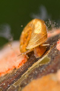 Freshwater snail (Planorbidae) crawling among colonies of Ciliates (Carchesium) Europe, July, controlled conditions  -  Jan  Hamrsky