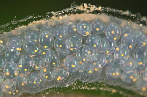 Great pond snail egg mass (Lymnaea stagnalis) Europe, July, controlled conditions  -  Jan  Hamrsky