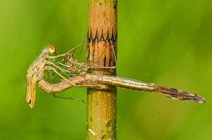 Spread-winged damselfly (Lestes sponsa) emerging sequence, Europe, July, controlled conditions  -  Jan  Hamrsky