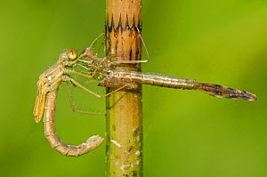 Spread-winged damselfly (Lestes sponsa) emerging sequence, female, Europe, July, controlled conditions  -  Jan  Hamrsky