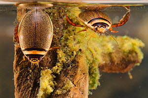 Diving beetles (Graphoderus bilineatus) female (left) and male (right) Europe, August, controlled conditions - Jan  Hamrsky