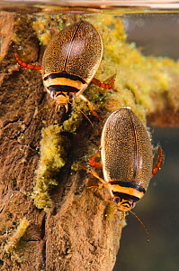 Diving beetles (Graphoderus bilineatus) female (right) and male (left) Europe, August, controlled conditions - Jan  Hamrsky