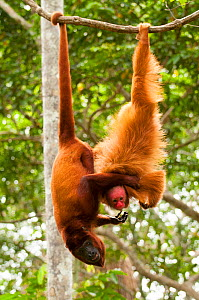 Red Howler Monkey (Alouatta seniculus) hanging by tail with non-prehensile tailed Peruvian red uakari monkey (Cacajao calvus ucayalii). Captive at Pilpintuwasi Animal Orphanage, Padre Cocha, Iquitos,... - Mark  Bowler